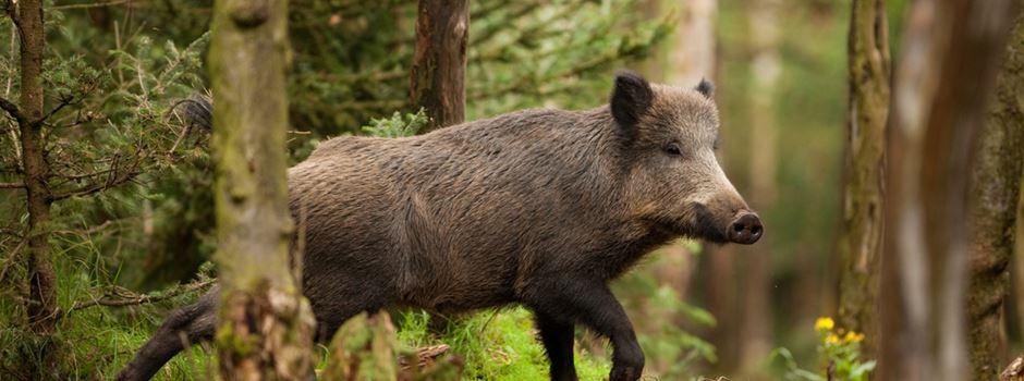 Wiesbadener können Wildfleisch aus dem Stadtwald kaufen