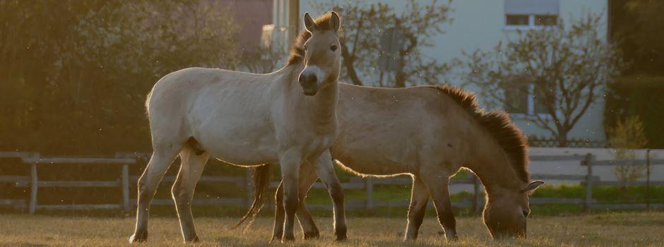 Die Augsburger Przewalski-Pferde: Wildpferde für den Naturschutz