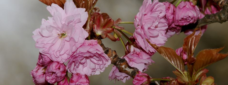 Der Zauber der Kirschblüten in Niederkassel
