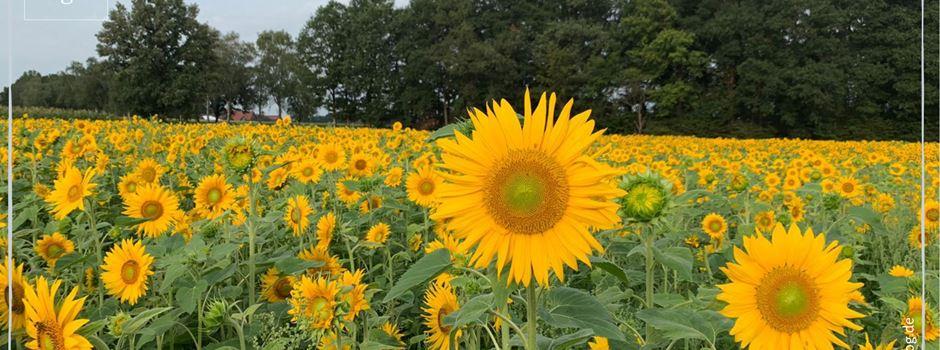 Sonnenblumenfelder zwischen Herzebrock und Clarholz