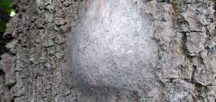 Erneut Eichenprozessionsspinner in Niederkassel gefunden