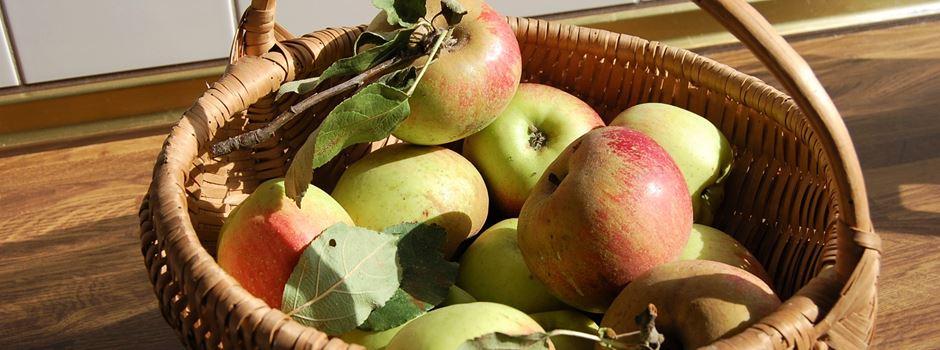 Erntezeit für Äpfel in Herzebrock-Clarholz