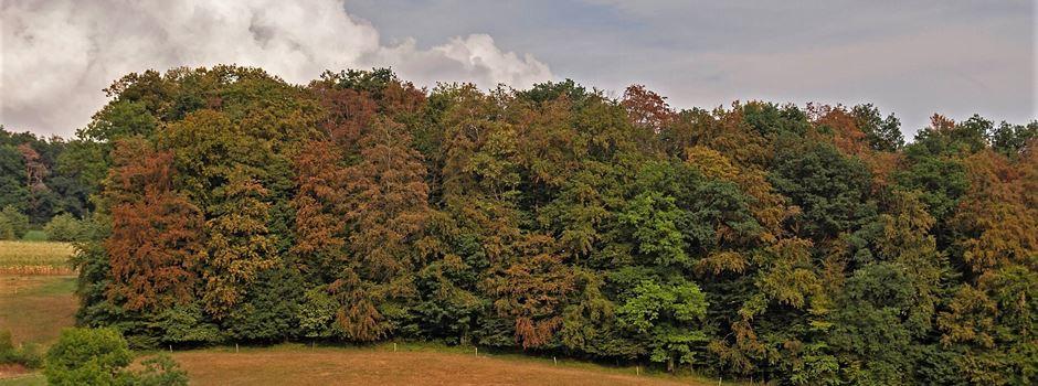 Baumsterben: Forscher aus Mainz und Hessen finden dürreresistente Buchen