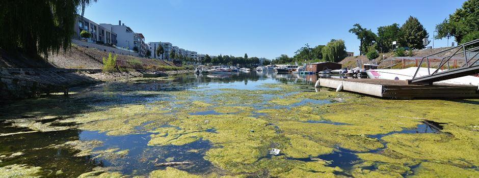 Warum der Winterhafen mit Algen befallen ist