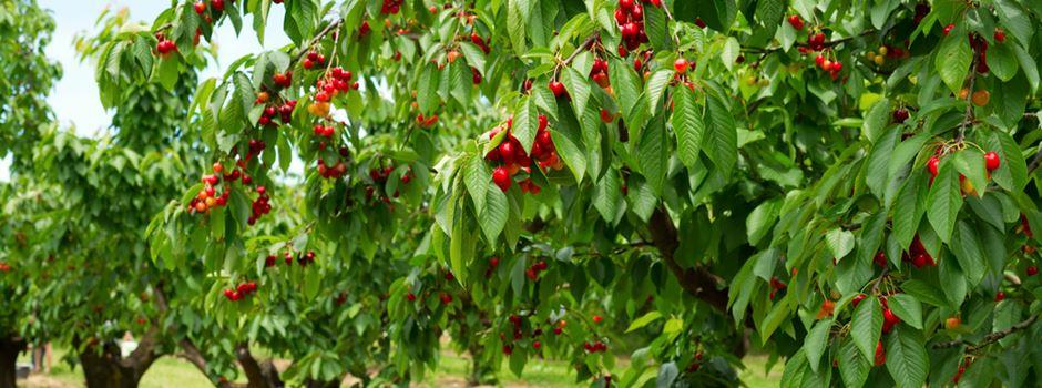 Obstdiebe ernten 70 Kirschbäume ab und beschädigen Triebe