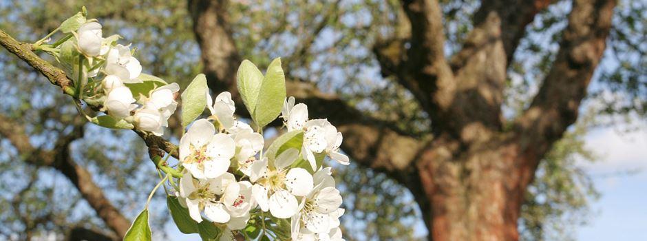 Obstbäume sortengerecht veredeln: Seminar in Niederhaverbeck