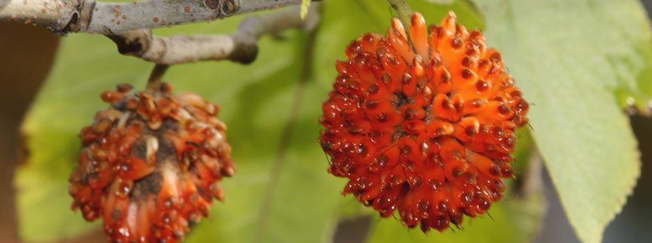 Papiermaulbeerbaumfrucht oder Coronavirus?