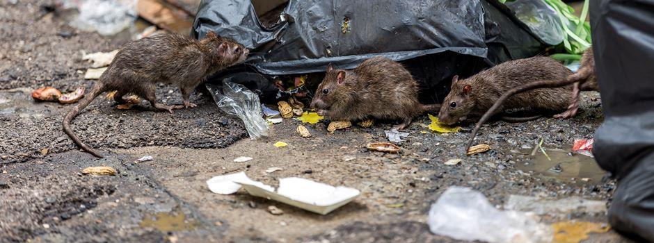 2-3 Ratten pro Einwohner - wie kann die Rattenpopulation auf diesem Niveau gehalten werden