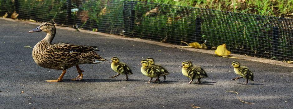 Polizei rettet Entenfamilie auf der Äppelallee
