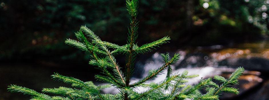 Tannen gesucht für Vorweihnachtszeit in Herzebrock-Clarholz