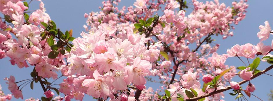 Kirschblütenfest 2019 – wenn die Ulmer Straße zum Blütenmeer wird