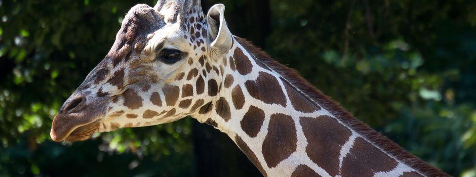 Zoo-Giraffe Hatari stirbt unerwartet