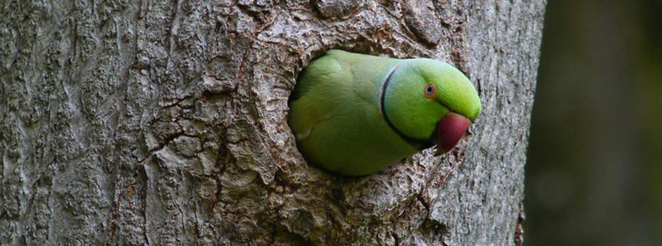 Wo überwintern die Papageien?