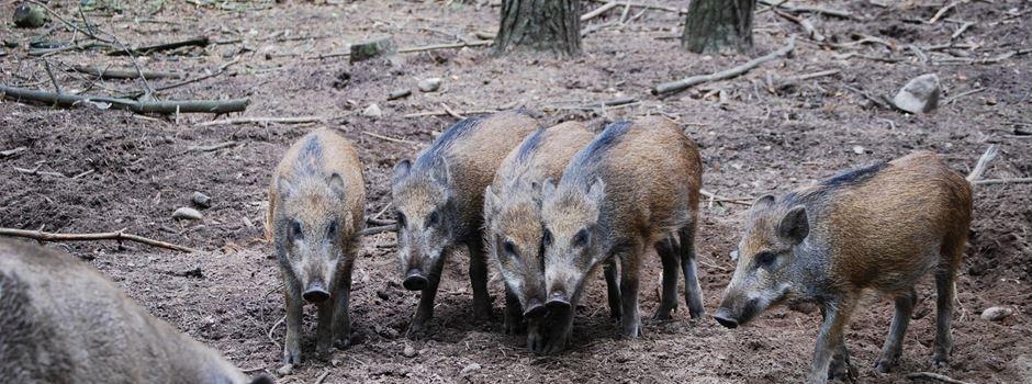 Immer wieder Wildschweine in Sonnenberg unterwegs