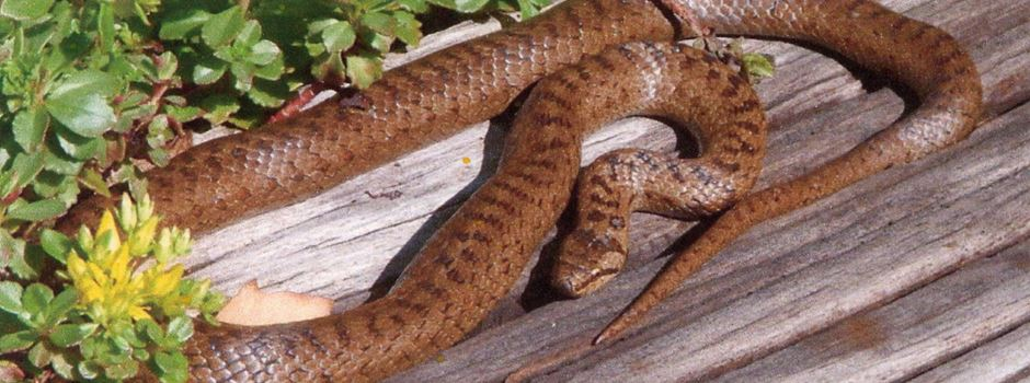 Wie gefährlich sind die Schlangen in der Region?