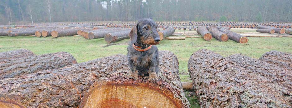 Hochwertiges Holz unterm Hammer