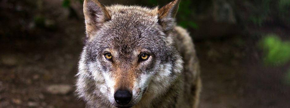 """""""Wir werden weder Hochwasserschutz noch Wiesenvögel dem Wolf opfern"""""""