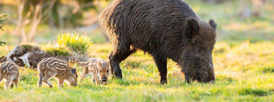 Zeit der jungen Wildtiere beginnt - Was wir beachten müssen