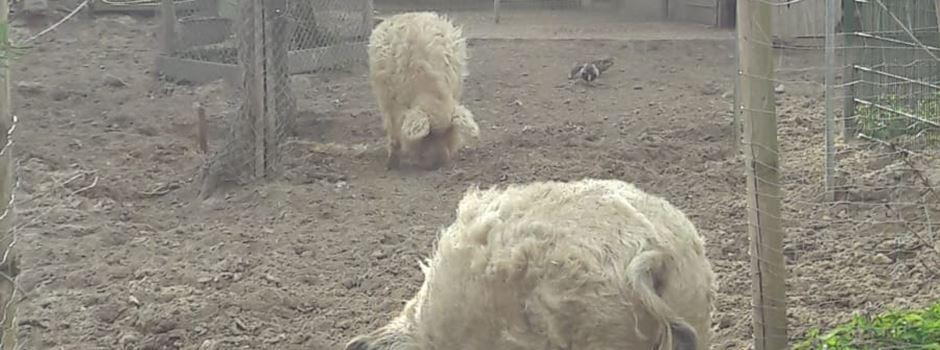 Was mit den Wollschweinen aus dem Wildpark passiert ist