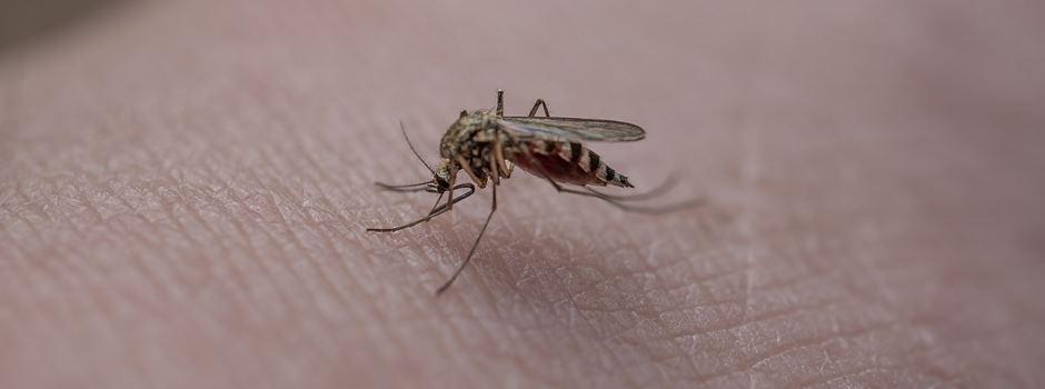 Stechmücken-Plage: Was hilft dagegen?