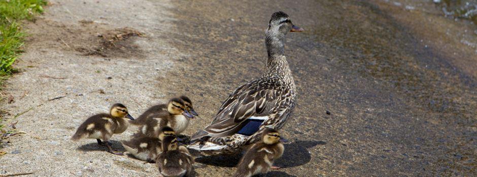 Polizei Mainz rettet sechs Entenküken