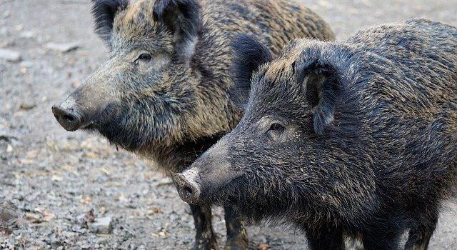 Wilder Augsburger Stadtwald – Was tun, wenn das Wildschwein kommt?
