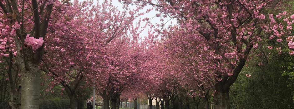 Niederkassel kann Kirschblüten