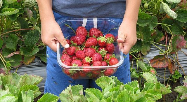 Erdbeeren zum Selbstpflücken auf Augsburger Erdbeerfeldern