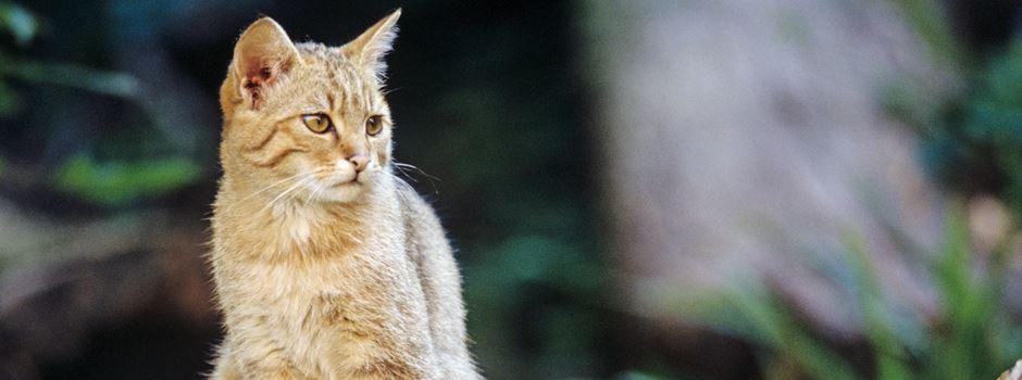 Tiere im Landkreis Mainz-Bingen: Die Wildkatze