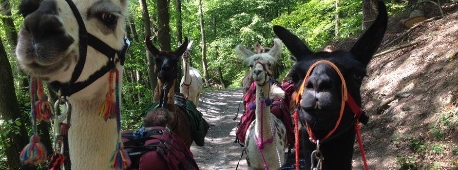 In Idstein ziehen bald Lamas durch den Wald