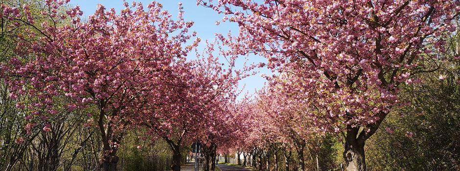 Niederkasseler Kirschblüten blühen
