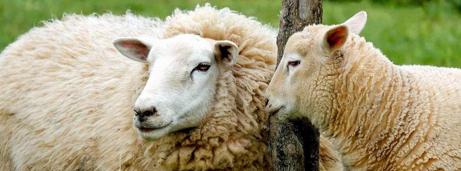 Schafe geraten in Panik und flüchten auf Fahrbahn