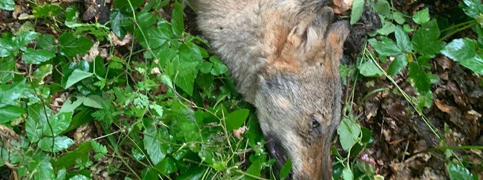 Wolf von Pkw erfasst