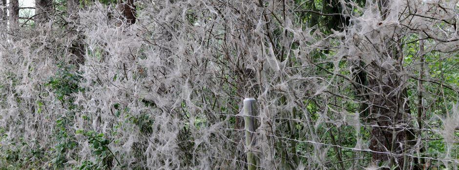Gespinstmottennester verunsichern Spaziergänger in Mondorf