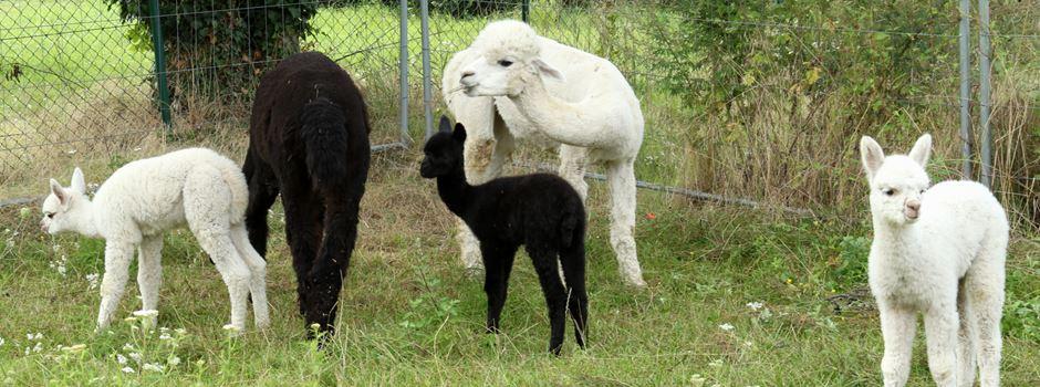 Tierischer Nachwuchs: Alpaka-Babys in Mondorf (mit Video)