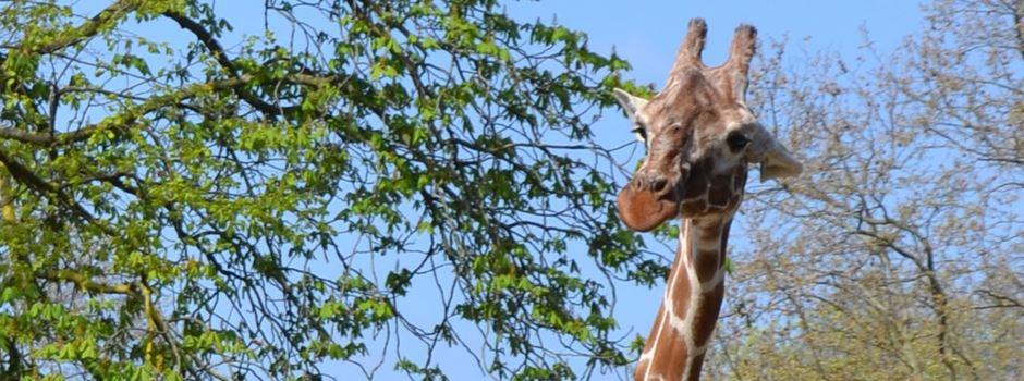 Trauriger Abschied von Giraffe im Frankfurter Zoo