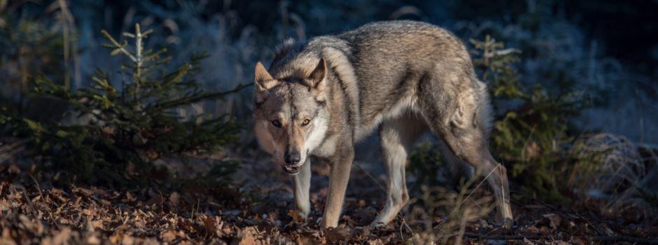 Toter Wolf in Wiesbaden gefunden
