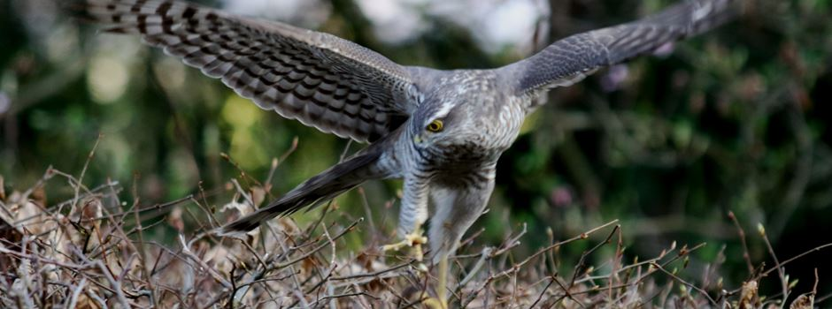 Seltener Anblick: Sperber auf Vogeljagd in Mondorf