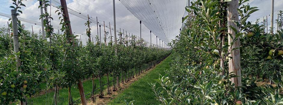 Regenwetter: Ernteausfälle für Mainzer Bauern?