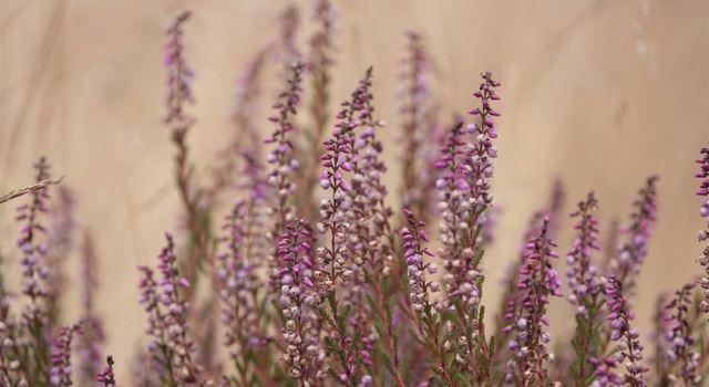 Geheime Welt der Heidepflanzen
