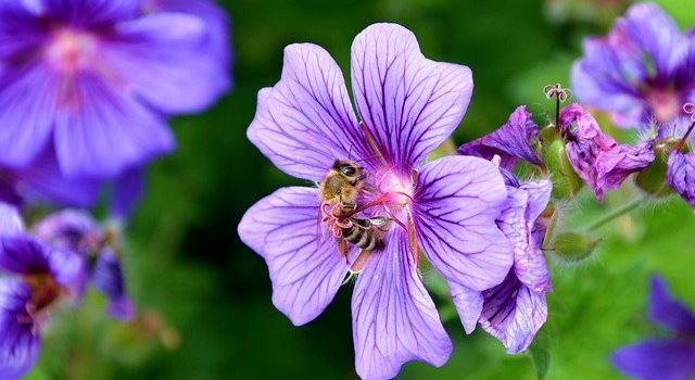 Support Your Local Bees: Mit den richtigen Blumen auf dem Balkon