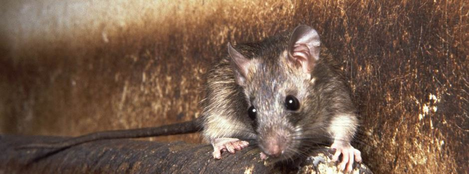 Ratten: Teil des Ökosystems aber trotzdem nicht willkommen