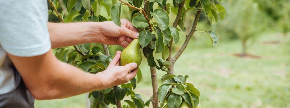 Obstbauer erwischt Birnendiebe und wird angegriffen