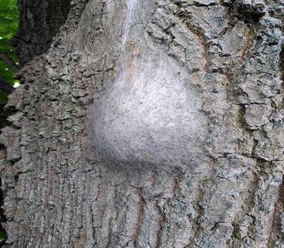 Achtung! Eichenprozessionsspinner in Niederkassel gefunden