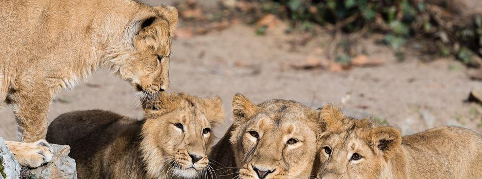 Löwin im Frankfurter Zoo eingeschläfert