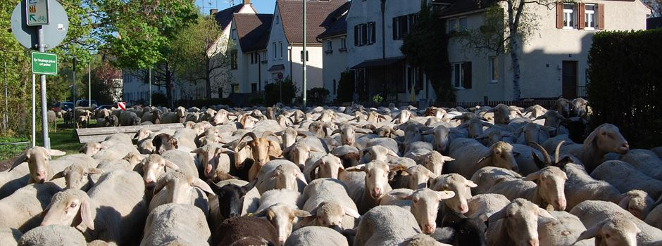 Das Augsburger Lechtal-Lamm: Aus Wolle wird Gartendünger