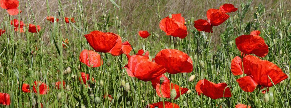 Gelb weicht Rot: Bunte Vielfalt der Niederkasseler Ackerflächen