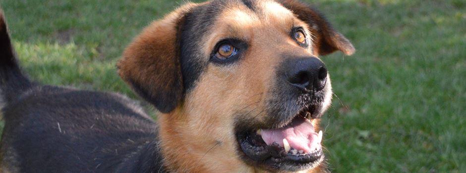 Wenn Schäferhund-Mix Balou kein Zuhause findet, wird er sterben