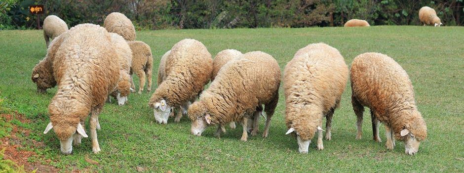 ZDF holt Schafe auf das Gelände am Lerchenberg