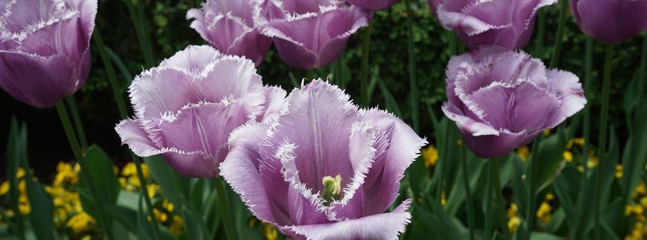 Wir heißen den Frühling Willkommen auf dem japanischen Frühlingsfest